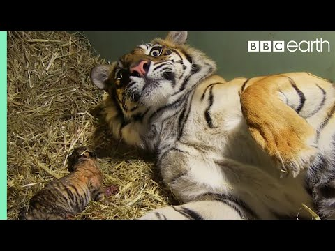 Birth of Twin Tiger Cubs Tigers About The House BBC