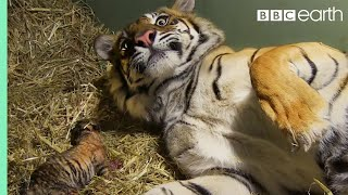 Birth of Twin Tiger Cubs | Tigers About The House | BBC