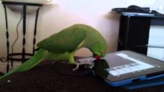 Indian ringneck parrot talking