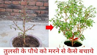 How to Save Drying Tulsi Plant/Holy Basil || Care of Tulsi Plant/Holy Basil