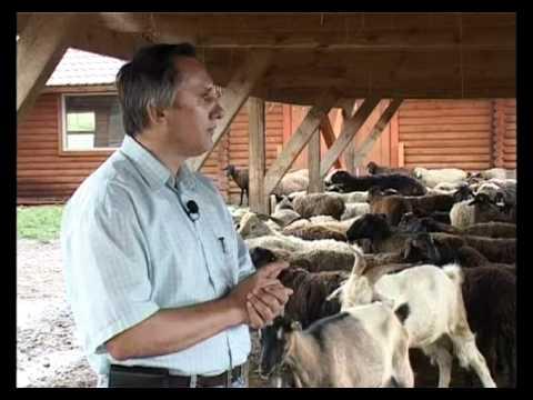 видео ловить овец