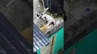 Gran peleas de gatos