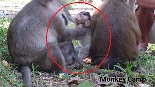 Baby monkey cry because of big monkey,Pig tail monkey take care baby monkey,Monkey life, Monkey Camp
