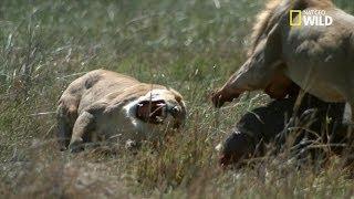 Combat brutal de lions pour la domination - racontée par Gérard Darmon