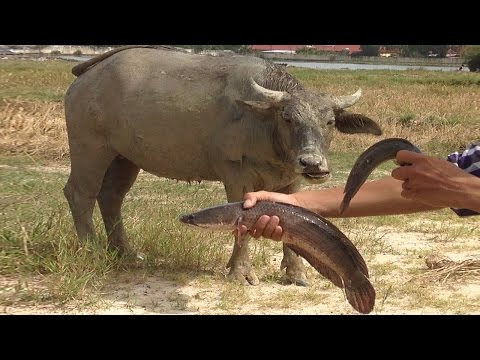 Amazing Fishing Video by hands best fishing videos in khmer how to catch big fish top fishing videos
