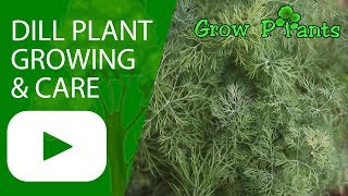 Dill plant - growing & care