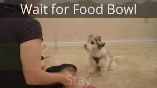 18-Week-Old Coton de Tulear Puppy Obedience Training