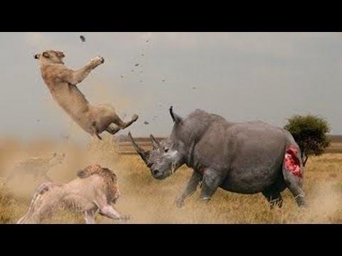 Ataque Feroz Contra um Leão