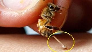 لهذا السبب تموت النحلة بعد لسعها للإنسان مباشرة !!