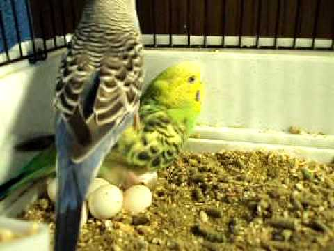 Parakeets nesting