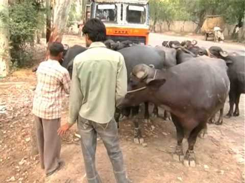 Xxx Mp4 Animals Being Transported For Slaughter In Kamela In Meerut 3gp Sex