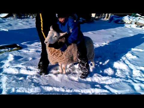 Riding Sheep Fail