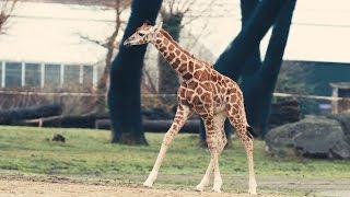 Adorable 3-Week-Old Endangered Giraffe Takes Walk Around New Home In U.K. Zoo