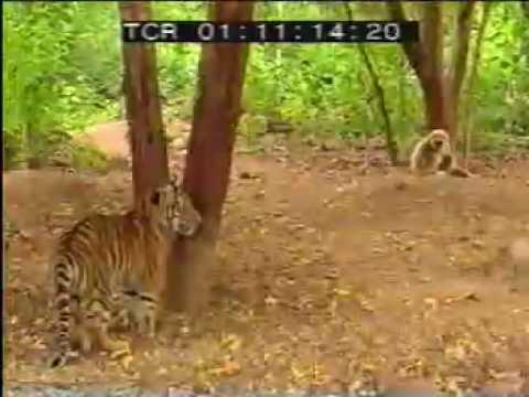 Macaco Corajoso Enchendo Saco de Tigres