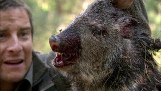 Bear Eats Wild Pig - Born Survivor 6