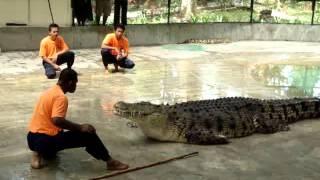 مصا رع التمساح العالمي في جزيرة لنكاوي لقطه بكمرتي الخ