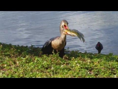 Snake Bird VS. Big Bass Fish
