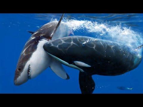 Orca vs Tiburon blanco