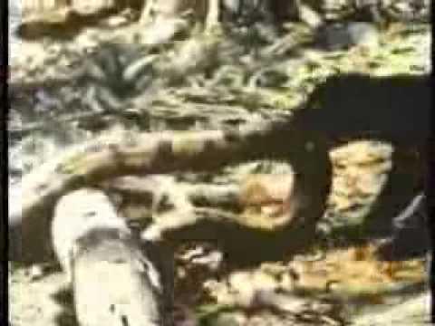 Pelea entre jaguar y anaconda