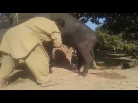 Desi buffallo mating in village ...force mating