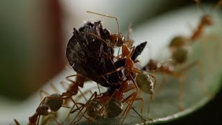 Ant Fortress Under Attack! - Life Story - BBC