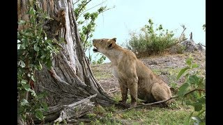 This Lion Just Killed A Baboon Which Is Why I Was Shocked At What She Did To The Baby Afterwards