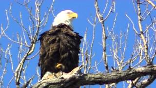 American Bald Eagle Spring Minnesota Land of 10,000 Lakes NATURE watch in HD Full Screen
