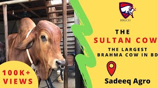 Sultan The Brahman cow From USA Texas | Sadeeq Agro 2017 | RBGCH