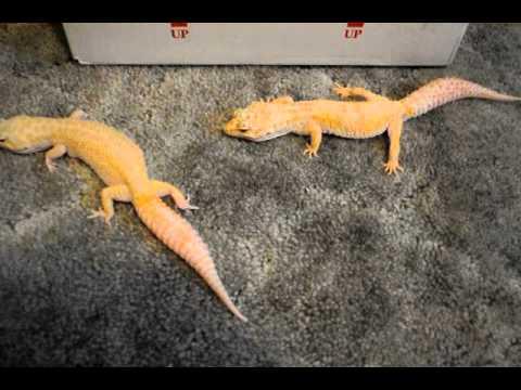 New leopard gecko breeding project