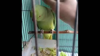Indian ringneck parrot saying mithu.