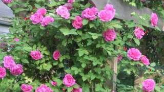 Growing Roses : How to Plant Climbing Roses