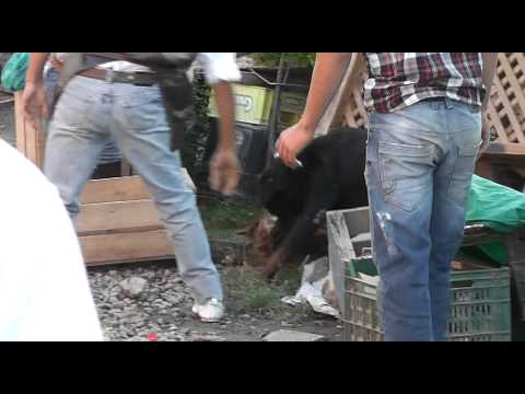 Rottweiller atacando a otro perro