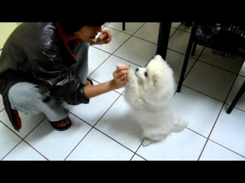 Cute Japanese Spitz puppy playing dead + sitting as Lucky Cat