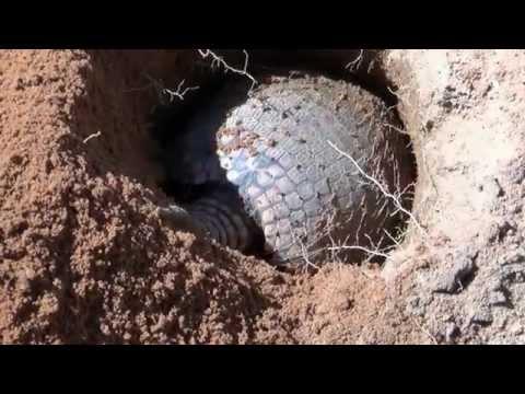Armadillo digging the hole Euphractus sexcenctus
