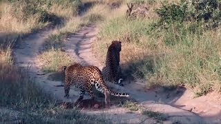 leopard stalking prey is completely unaware that he is the hunted.