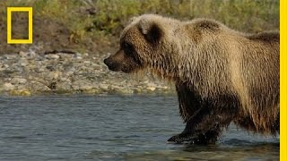 Salmon Fishing with Grizzlies | America's National Parks