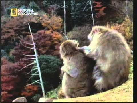 Lesbianism in macaques