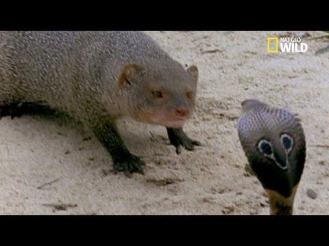 Mangouste contre serpent