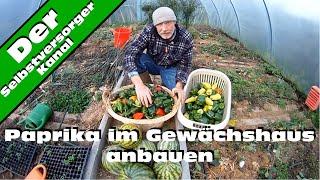 Paprika im Gewaechshaus anbauen