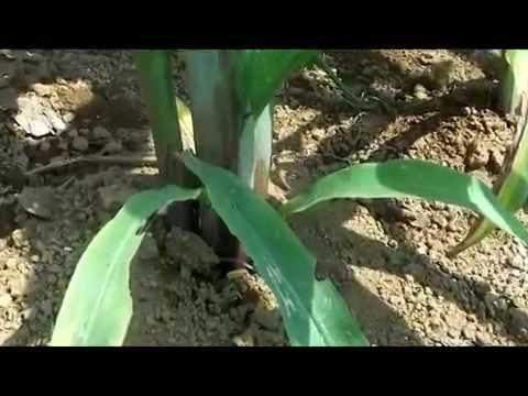 budidaya jagung hibrida secara organik hasil meningkat