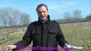 How to plant blackcurrant bushes.