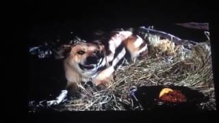 Old Yeller rabies scene