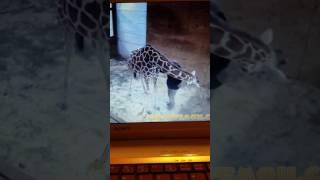 April the giraffe almost kicks Dr Tim