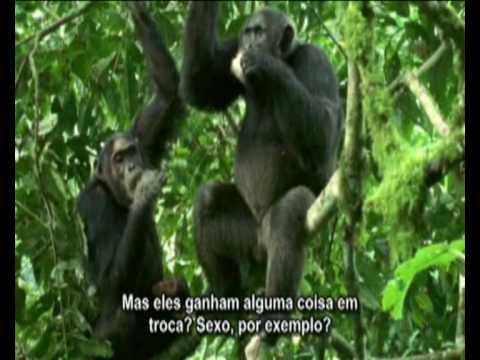 Chimpanzés caçando e dividindo comida