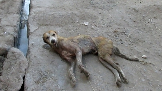 Hopeless wounded dog dying on side of street rescued