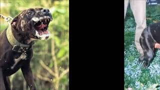 Real game bred pitbull