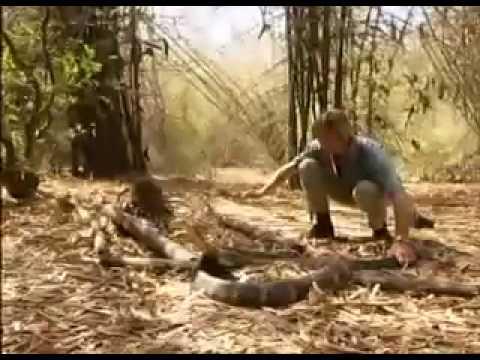 Giant King Cobra of kerala.flv