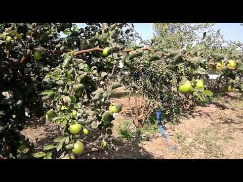 Xxx Mp4 Apple Bor Sai Sarita Stall At Niphad Nashik Maharashtra India By Sangam Jayswal 3gp Sex