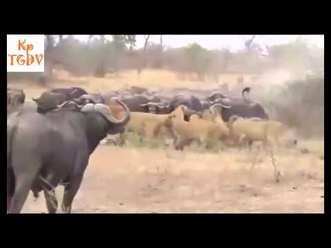 Trâu rừng giết Sư Tử trả thù cho con phần 1 Thế giới động vật hoang dã