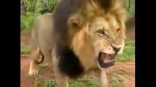 الأسد ملك الغابة بلا منافس